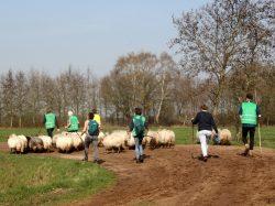 Aan de wandel met de schapen kudde Benneveld